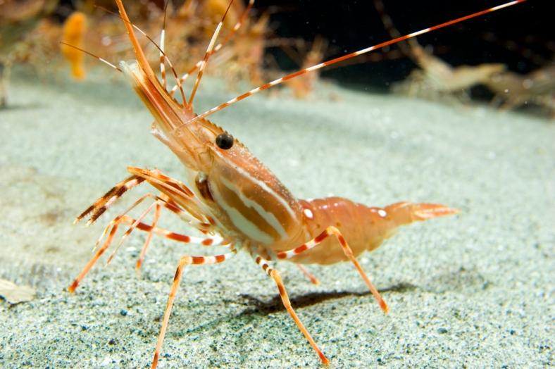 sea-prawn